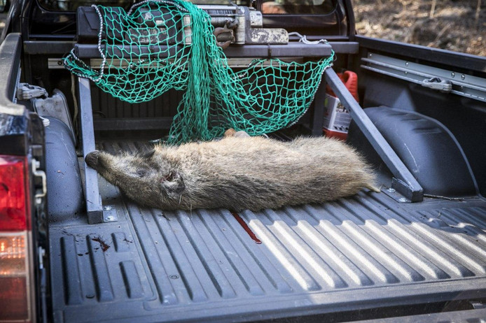 Het wild zwijn overleefde de botsing niet.