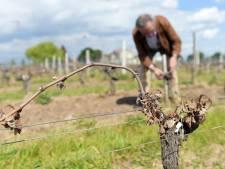 De 5 à 10% du vignoble bordelais touché par le gel