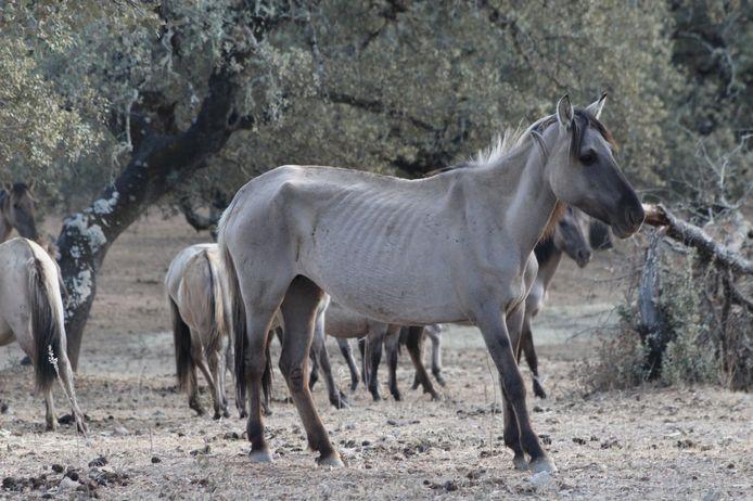 De verzwakte konikpaarden uit Oostvaardersplassen hebben opnieuw een nieuw huis
