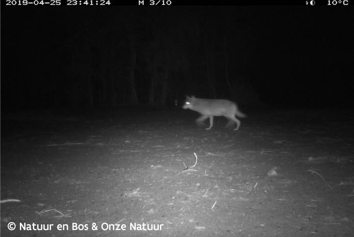 Wolf Naya op beelden uit April