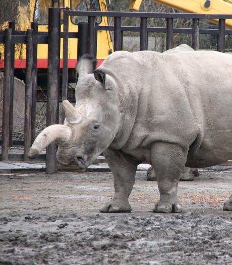 Wacht deze dieren hetzelfde lot als de noordelijke witte neushoorn?