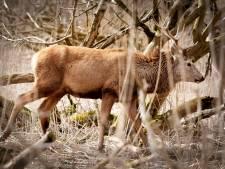Staatsbosbeheer gaat maandag verder met doodschieten edelherten in de Oostvaardersplassen
