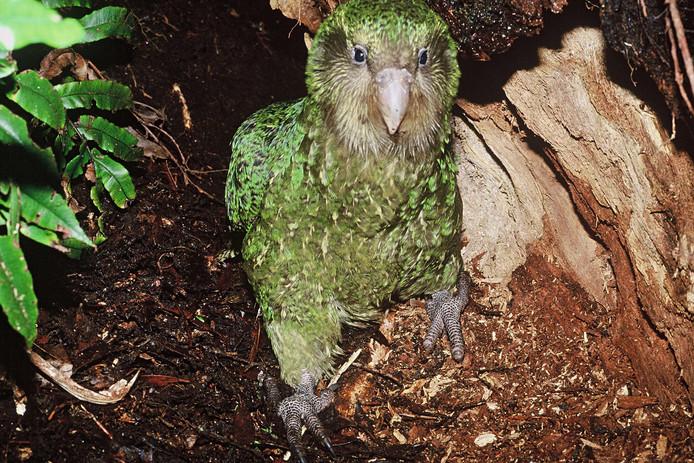 De kakapo in het wild.