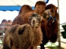 Babynieuws uit Steenbergen: circuskameel Alexander