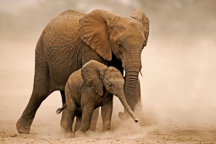 Een Afrikaanse olifant en een kalf in Amboseli National Park in Kenia. De dieren hebben veel water nodig. Ze moeten per dag zo'n 150 tot 300 liter water drinken en ze baden en spelen erin. Hogere temperaturen, minder regenval en ernstige droogte hebben direct effect op het aantal olifanten: minder water en daardoor minder groenvoer beperkt de omvang van olifantenpopulaties, en in droge tijden neemt de sterfte van kalveren toe.