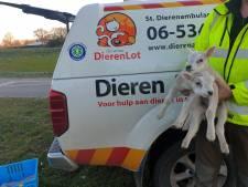 Lammetjes schreeuwen in centrum Voorthuizen om hun moeder