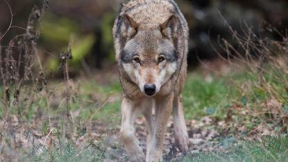 """Wolf slaat toe in Duffelse schapenweide: """"Niet gevaarlijk voor de mens"""""""