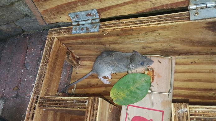 Een rat die werd gevangen in Waalre.