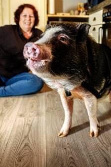 Twee honden, zes katten en vergeet varken Bruno niet: 'Bruno is net zo intelligent als een peuter'