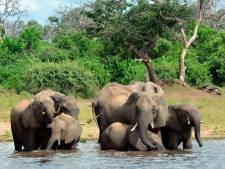 Des centaines d'éléphants succombent à une bactérie
