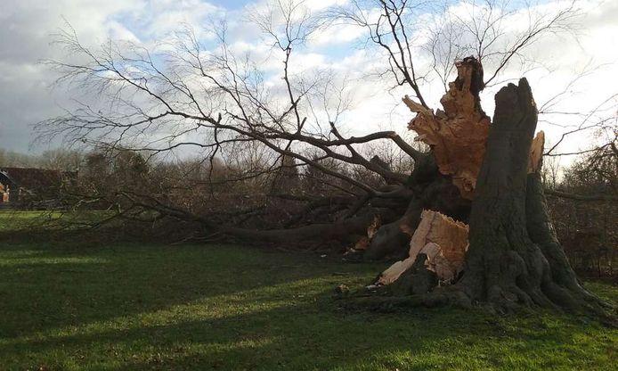 Deze 200 jaar oude boom zou dit jaar ingediend worden als 'Boom van het jaar'.
