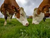 Kijk hier beelden van de koeiendans bij boer Jaco