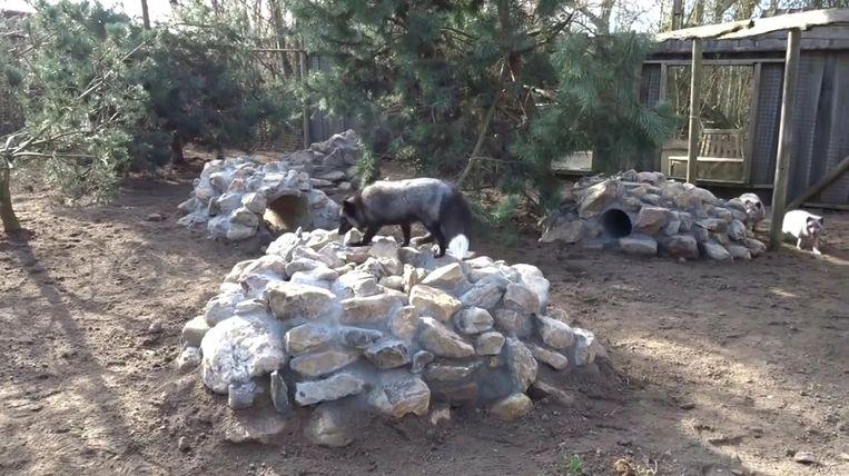 De vossen ontdekken hun nieuwe verblijf in De Zonnegloed