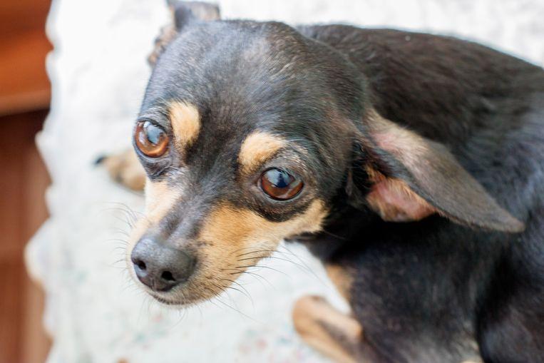 Foto ter illustratie - Er bevonden zich ook heel wat chihuahuas onder de verwaarloosde honden.