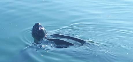 Bijzondere lederschildpad zwemt vrijwel zeker nog rond in de Oosterschelde