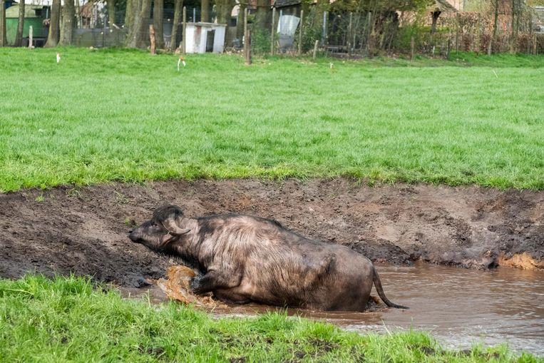 Na een verfrissende duik zoekt deze buffel weer het droge op.
