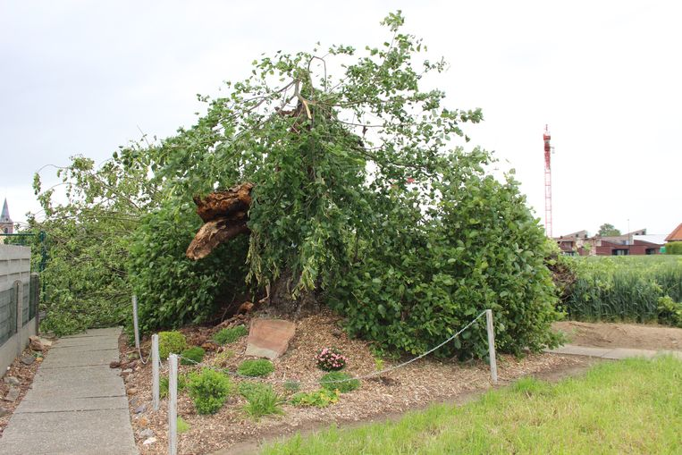 De etageboom in Nukerke ligt er triest bij: geveld door de hevige wind.