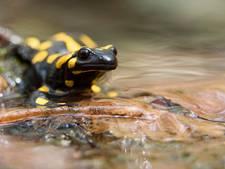 Voortbestaan salamander bedreigd door vleesetende schimmel