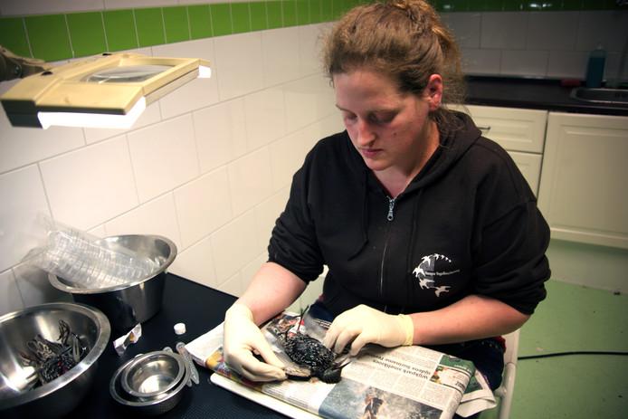 Sharon Lexmond van vogelopvang de Wulp onderzoekt de dode spreeuwen