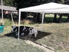 Partytent redt kreupele koe in Losser niet:  'Helaas spuitje moeten geven'