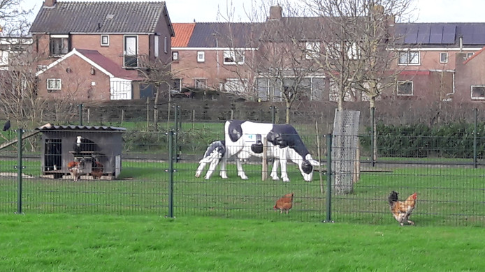 In Wamel viel een 'koe' om.