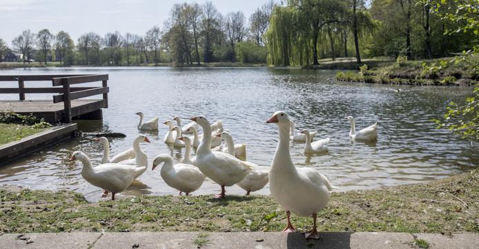 De huidige ganzenpopulatie bij 't Vletgoor zorgt voor klachten en overlast
