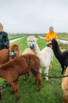 Hier kun je wandelen met alpaca's, Marileen (22) is fan: 'Ik heb zelfs een alpacatatoeage'