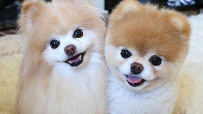 """Schattigste hond ter wereld gestorven van verdriet: """"Zijn hart is letterlijk gebroken"""""""