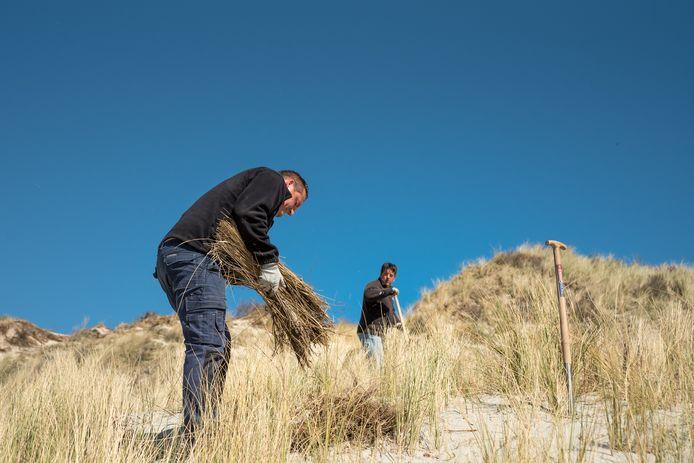 Daniël (op de voorgrond) en zijn neef Van Belzen planten helmgras in de duinen van Westenschouwen.