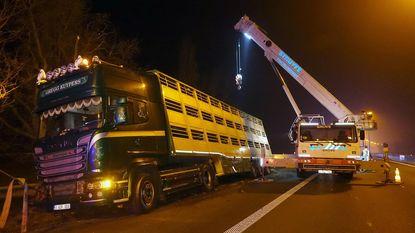 Vrachtwagen met 200 varkens belandt in vangrails