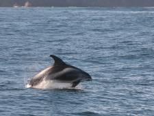 Dolfijnen spotten op de Noordzee: donkere vlekken en opspattend schuim