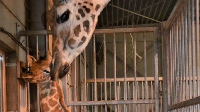 Schattig: babygiraf geboren in Bellewaerde