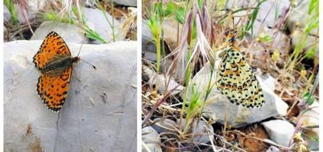 Nieuwe vlindersoort ontdekt op skipiste