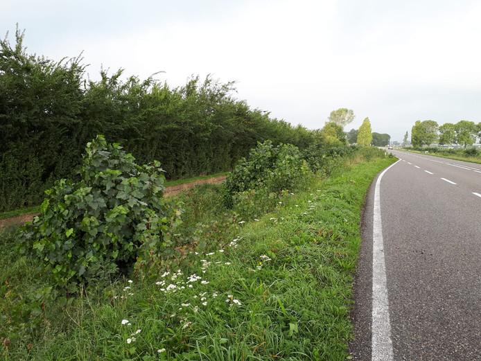 De boomstronken die achterbleven na de kap van de populieren aan de Frieseweg  zijn inmiddels weer uitgelopen.