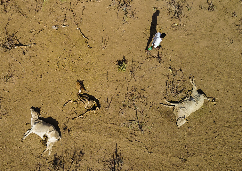 Dode koeien door droogte in de Ethiopische deelstaat Oromia.  Beeld Barcroft Media via Getty Images