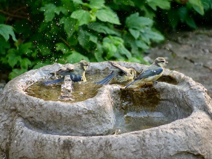 Ook vogels hadden het warm tijdens de hittegolf. Zij vinden verkoeling in vogelbadjes of in dit waterornament in de achtertuin van de fotograaf.