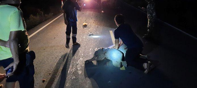 Een jonge olifant werd aangereden door een motorrijder.