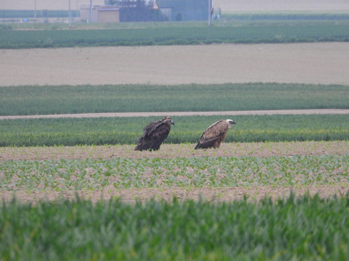 In Hees werden deze week twee gieren gespot:  een vale (r) en een monniksgier.