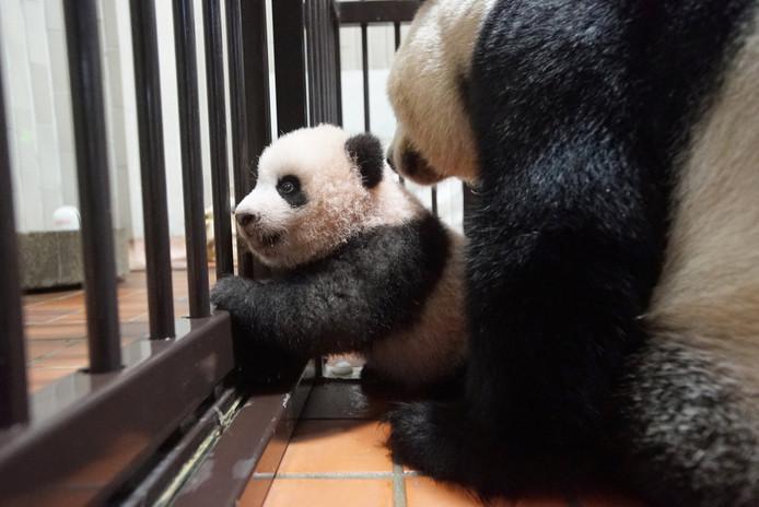 De pasgeboren panda Xiang Xiang zit samen met zijn moeder Shin Shin in de dierentuin van Tokio. Foto Tokyo Zoological Park Society / Reuters