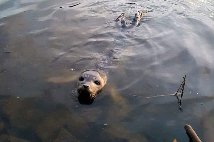 De zeehond in de Dender, nooit gezien