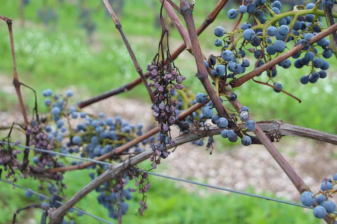 Wijnboer Henk Timmermans van wijngoed Erve Wisselink ziet helft van de wijnoogst dit jaar verdrogen en planten afsterven.