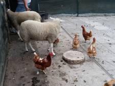 Gedumpte kippen vinden per toeval nieuw thuis 'dankzij' een gewonde mus