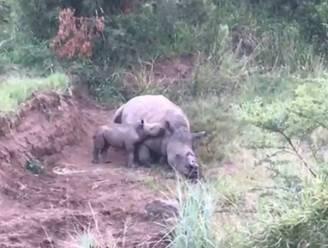 Hartbrekend: babyneushoorn probeert bij dode moeder te drinken