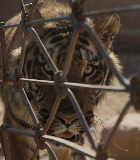 Uitgemergelde dieren gered uit dierentuin Aleppo