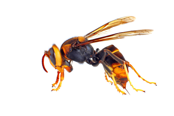 De Aziatische hoornaar is een grotendeels zwarte wesp. Hij heeft een oranje gezicht en op zijn lijf een smalle, gele band vooraan en een brede, oranje band achteraan.