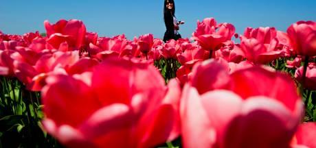 Een zee van duizenden rode tulpen in het Bredase Valkenberg