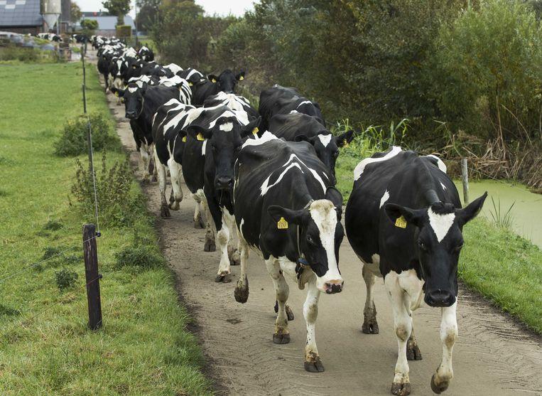 (archieffoto, niet de koeien in kwestie).