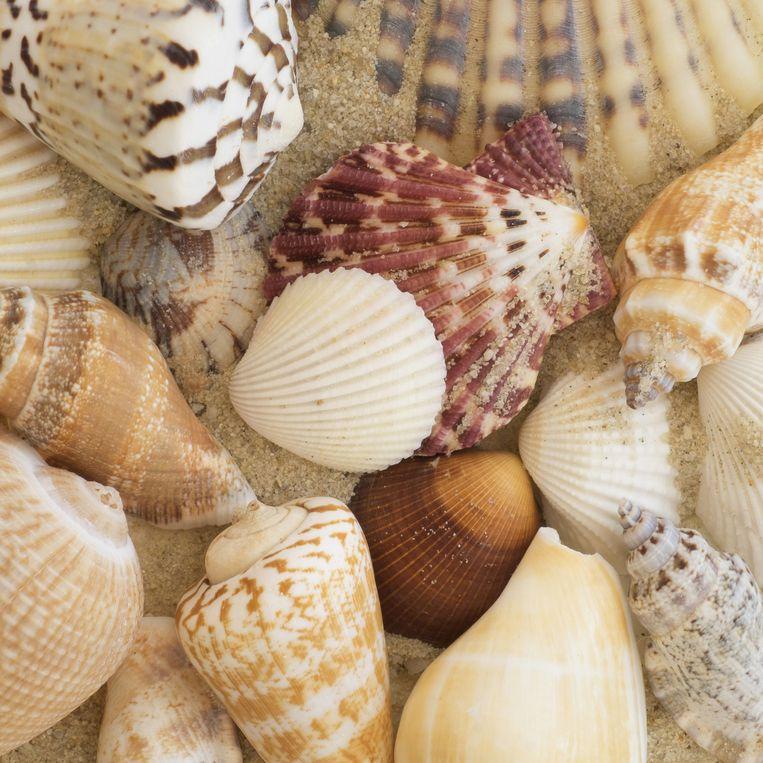 'Elke schelp is ooit het huis en het graf geweest van een levend organisme.' Beeld null