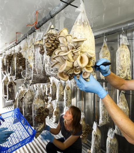 Giethoorn verzamelt al zijn koffiedik om oesterzwammen te kweken