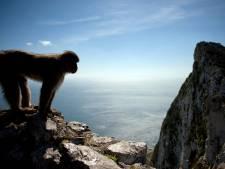 Toucher les macaques de Gibraltar va devenir un délit